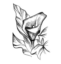 hand drawn black and white blooming callas flowers vector image