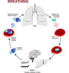 Respiration or Breathing vector image