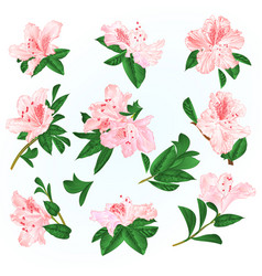 Light pink flowers rhododendrons and leaves vector