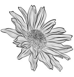 Heliopsis in line art style vector