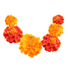 marigolds isolated on white vector image