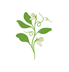 Blossom plant of green peas with flowers and vector