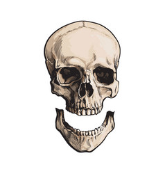 hand drawn anatomical human skull with separated vector image