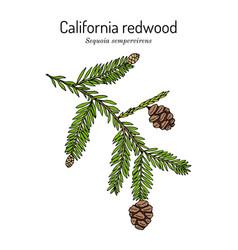 Coastal redwood sequoia sempervirens state tree vector