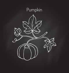 pumpkin with leaves vector image