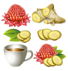 Set of ginger root with flower and teacup vector