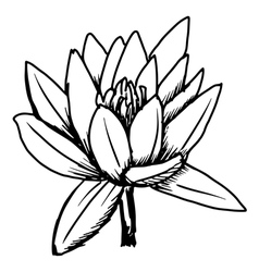 white lotus vector image