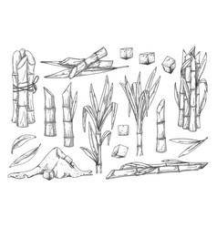 Sugar cane vintage sketch set on white vector