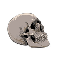 hand drawn sketch of skull in color isolated on vector image