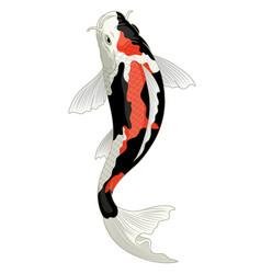 Japan koi fish in showa coloration pattern vector