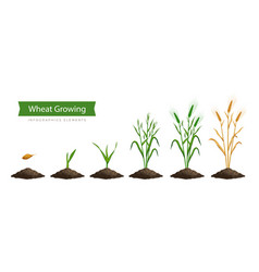Wheat growth stages vector