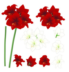Red and white amaryllis - hippeastrum christmas vector