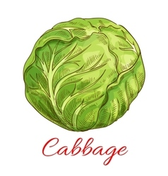 Cabbage vegetable isolated sketch vector image vector image