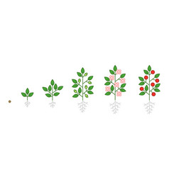 Plant growth stages infographic seedling budding vector
