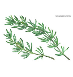 Rosemary green stem branches vector