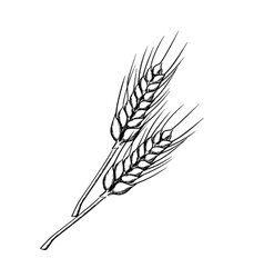 Sketch of wheat with ripe grains vector
