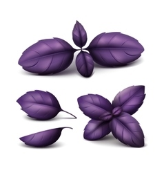 Set of Fresh Red Purple Basil Leaves Isolated vector