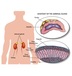 Adrenal gland vector
