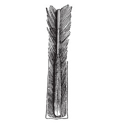 feather shaft vintage vector image