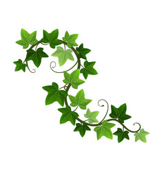 Green climbing ivy creeper branch isolated on vector