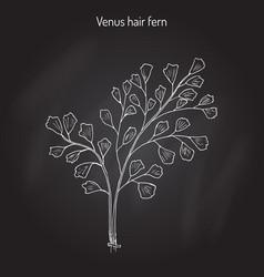 southern maidenhair fern vector image