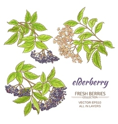 Elderberry set vector