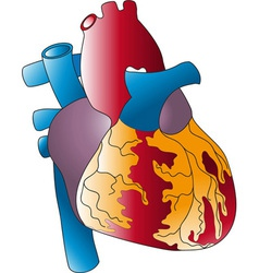 of the human heart vector image