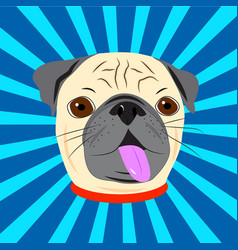 face of cute pug with collar on blue starburst vector image vector image