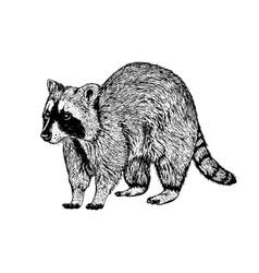 Hand drawn raccoon sketch vector