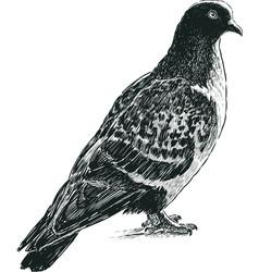 Wild pigeon vector