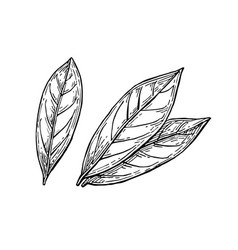 Bay leaves ink sketch vector