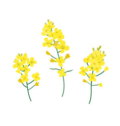 Flobrassica napus rapeseed colza oil seed vector