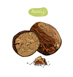 nutmeg hand drawn colorful vector image