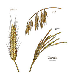 cereals set hand drawn wheat oats rice vector image