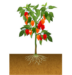 habanero pepper plant vector image