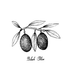 Hand drawn of olive fruits on white background vector