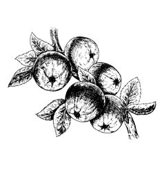 Hand drawn branch with apples sketch vector