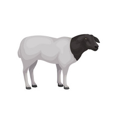 flat icon of young dorper sheep farm vector image