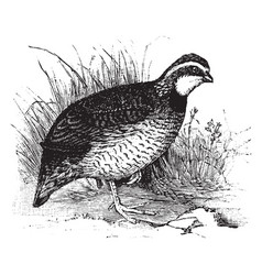 Bob white quail vintage vector