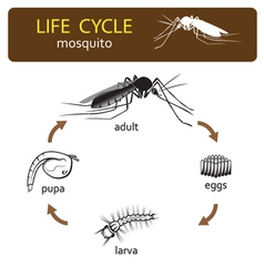 Life cycle of mosquito vector