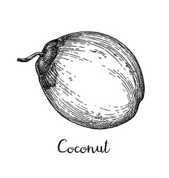 Ink sketch of young green coconuts vector