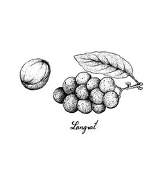 Hand drawn of langsat fruits on white background vector
