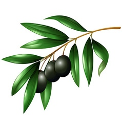 Black olives on the branch vector