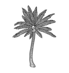 coconut palm tree plant sketch engraving vector image