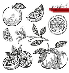 Grapefruits vector