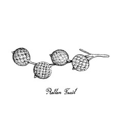 Hand drawn of rattan fruits on white background vector