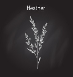 heather calluna vulgaris branch with leaves and vector image
