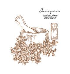 Juniper berries and leaves medical plants set vector
