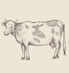 The spotted cow is standing vector