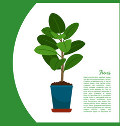 Ficus plant in pot banner vector